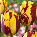 Тюльпан класичний пізній Helmar 1 цибулина